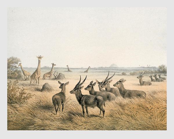 Johann Martin Bernatz: IX. Antilopen (A. ellipsipyrmna) und Giraffen. Abbildung aus »Wilhelm von Harnier's Reise am oberen Nil«. Darmstadt, 1866.